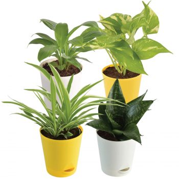 Air Purifying Indoor Plants online